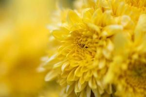 grote gele chrysanten in het park foto
