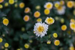 kleine gele wilde chrysanten in het park foto