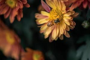 gele chrysanten zijn in het wild foto