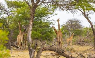 prachtige lange majestueuze giraffen kruger nationaal park safari zuid-afrika. foto