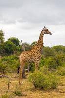 mooie lange majestueuze giraffe kruger nationaal park safari zuid-afrika. foto
