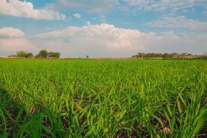 gewassen die groeien in een veld op het platteland foto