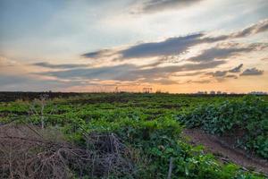 gewassen die tijdens zonsondergang in een veld op het platteland groeien foto