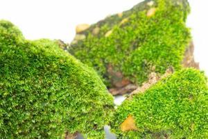 een close-up van het oppervlak van het groene mos. tegen een witte achtergrond foto
