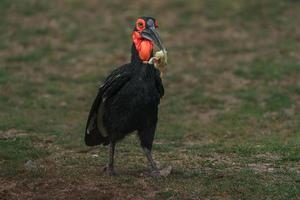 zuidelijke neushoornvogel foto