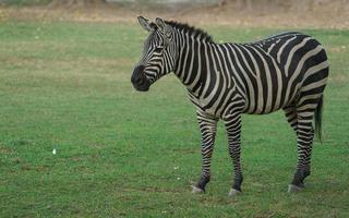 vlaktes zebra eten gras foto