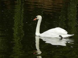 vogels in de volière en natuur zwanen blauwe rivier foto
