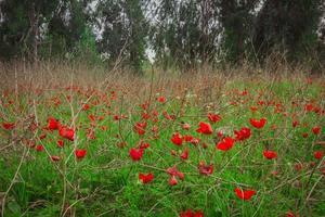 veld van rode anemonen foto