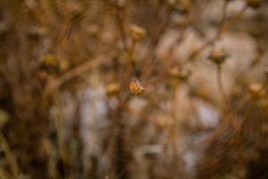 close-up op oranje spin zittend in het midden van het spinnenweb met bruine achtergrond foto