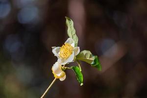 onder de zon staan theebloemen met witte bloemblaadjes en gele bloemkernen in het wilde theebos foto