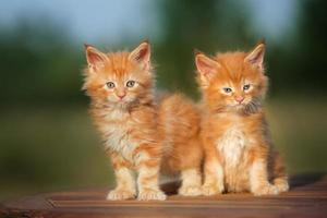 twee rode kittens buitenshuis foto