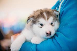 Alaskan malamute puppy hondje zit in handen van de eigenaar foto