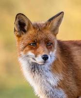 red fox volledig portret