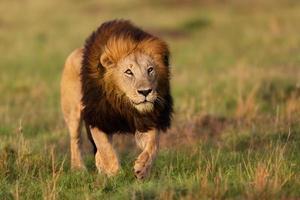 leeuw inkeping 2 in Masai Mara, Kenia foto