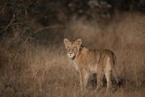 Leeuwen welp foto