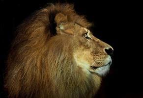 arrogante leeuw foto