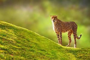 cheetah op een heuvel foto
