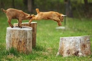 springende geit foto
