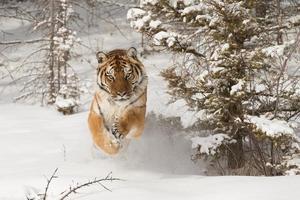 zeldzame volwassen Siberische tijger in besneeuwde winters tafereel foto