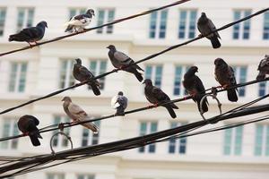 duiven neergestreken op hoogspanningslijn foto
