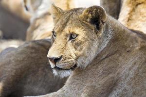 leeuw rust samen met de trots