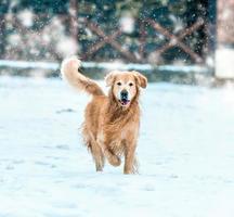 golden retriever wandeling in het park foto