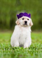 hond: golden retriever pup portret foto
