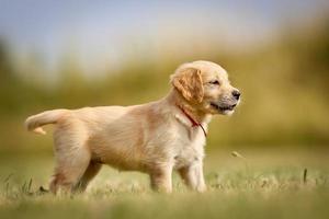 golden retriever pup staande in de zon foto