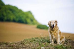 gehoorzame oude vrouwelijke golden retriever zat buiten in een veld