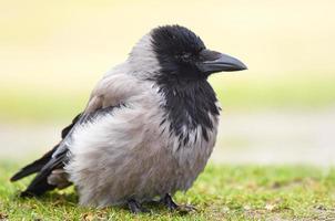 Bonte kraai (corvus cornix) foto