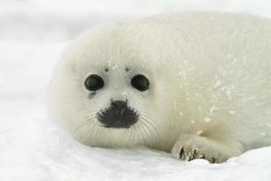 baby zadelrobjong op ijs in Noord-Atlantische Oceaan foto