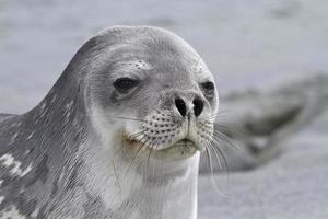 portret van een weddell-zeehond 1 foto