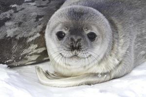 kleine pup weddell zeehonden die dichtbij het vrouwtje ligt foto