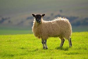 schapen op de southdowns foto