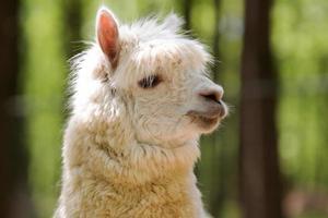 witte alpaca foto