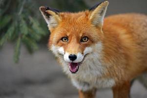 hd foto van een oranje vos met oranje ogen