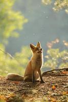 red fox siitng in tegenlicht tijdens de nazomer foto