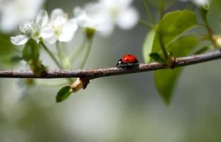 lieveheersbeestje op appelboom foto