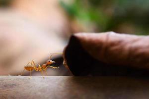 mier kleine wereld (macro, selectieve focusomgeving op bladachtergrond) foto