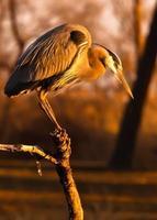 blauwe reiger bij zonsondergang foto