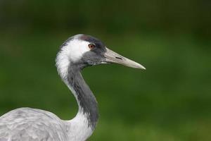 kraanvogel, grus gru foto
