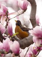 roodborstje in het voorjaar foto