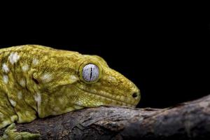 leachianus gecko foto