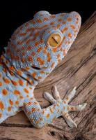 tokay gekko op hout foto
