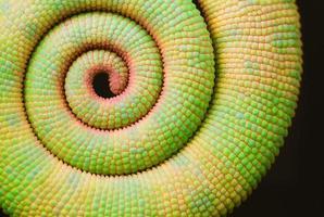 spiraal (kameleonstaart) foto