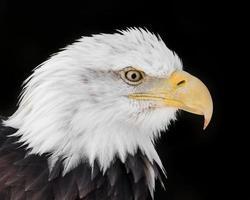 Amerikaanse zeearend xvi foto