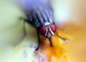 vlieg zuigen sap van rijp fruit foto