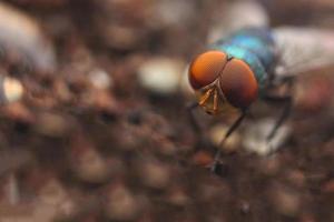de gewone huisvlieg (musca domestica) foto