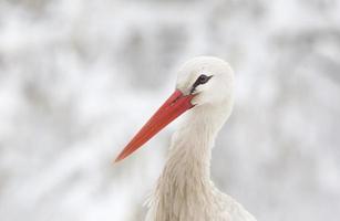 witte ooievaar hoofd foto