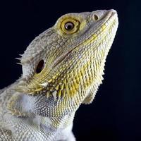 bebaarde draak